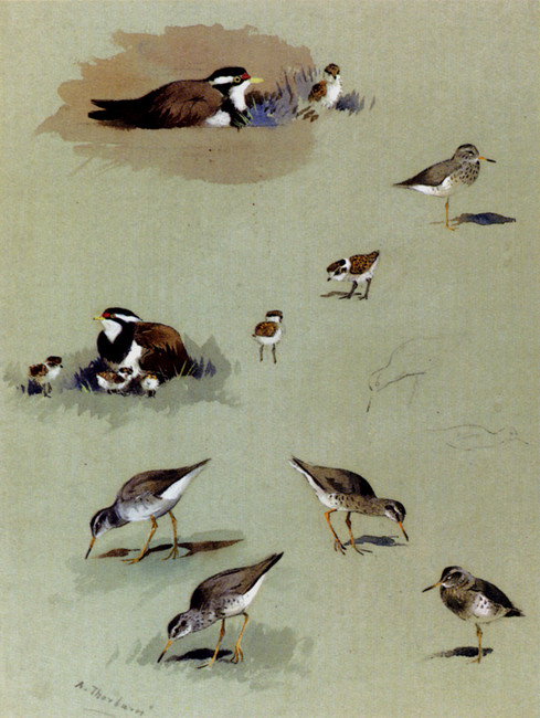 Archibald Thorburn >> Study Of Sandpipers, Cream-Coloured Coursers And Other Birds  |  (aquarelle, reproduction, copie, tableau, oeuvre, peinture).