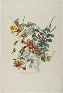 John James Audubon - Rubis Throated colibri