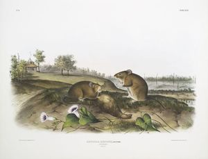 John James Audubon - Arvicola hispidus , coton rat . Grandeur nature