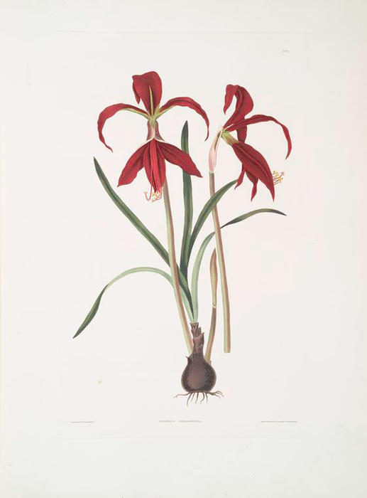 Amaryllis formosissima huile de robert havell 1793 1878 for Acheter amaryllis