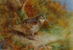 Archibald Thorburn - A Woodcock