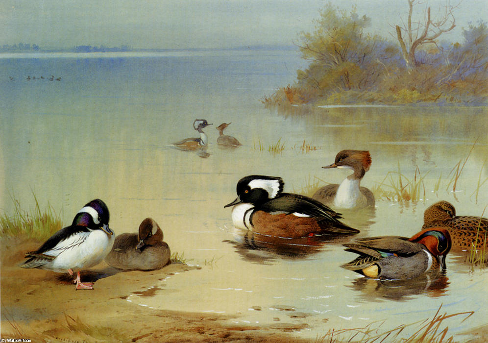 Buffel-Headed Canard , , Américaine Green-Winged Sarcelle et harle de Archibald Thorburn (1860-1935, United Kingdom) | Reproductions D'art Archibald Thorburn | WahooArt.com