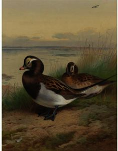 Archibald Thorburn - longue queue canard  été
