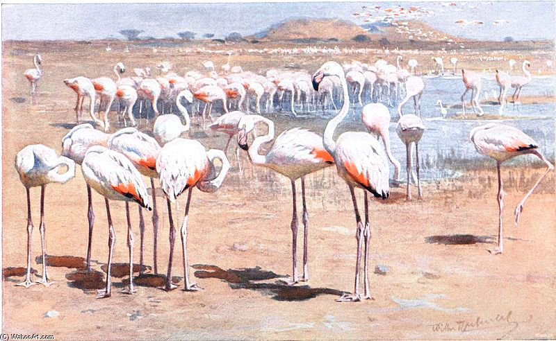 Greater Flamingo de Friedrich Wilhelm Kuhnert (1865-1926, Poland)