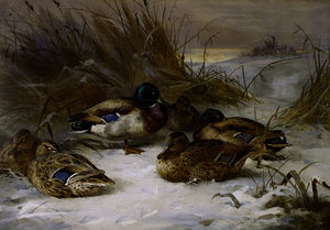 Archibald Thorburn - paysage dhiver avec  Colvert