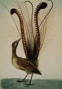 John William Lewin - lyrebird de l-australie , c . 1810