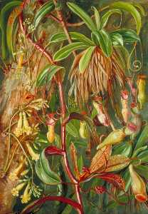 Marianne North - Les seychelles sarracénie et bilimb marron