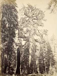 Carleton Emmons Watkins - grizzly géant , Mariposa Bosquet